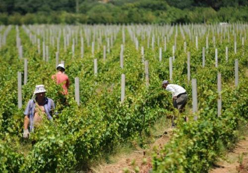 agorokop - samostalno u proizvodnju grozdja