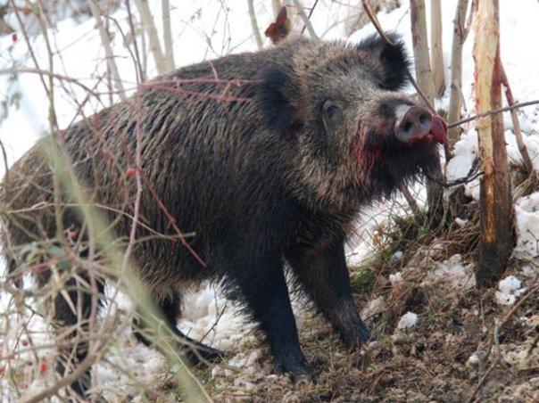 trebinje organizovano u lov na divlju svinju