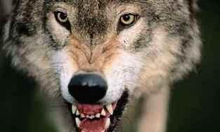 hajka na vukove